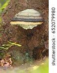 Fomitopsis Pinicola Polypore
