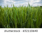 A Young Wheat Field Still Gree...