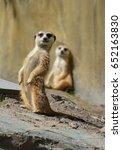 the meerkat or suricate is a...