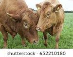 a south devon bull in a field... | Shutterstock . vector #652210180
