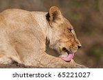 A Young Lioness Licking Her Paw