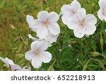 Pale Pink Cranesbill Geranium...