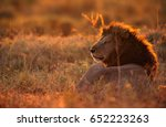 lion resting in the savannah in ... | Shutterstock . vector #652223263