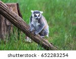 ring tailed lemur in the... | Shutterstock . vector #652283254