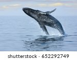 breaching hump back whale off... | Shutterstock . vector #652292749