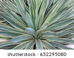 Close Up Variegated Yucca...