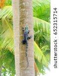 Iguana On A Palm Tree  Costa...