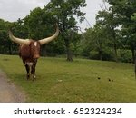 Small photo of Longhorn Steer