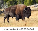 Bison Yellowstone National Park Wyoming - Fine Art prints