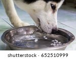 black and white husky dog while ... | Shutterstock . vector #652510999