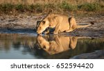 Adult Lioness Drinking Water...