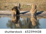 Male And Female Lion Drinking...