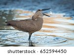 hammerkop eating a fish in the...   Shutterstock . vector #652594450