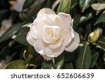 japanese camellia  camellia... | Shutterstock . vector #652606639