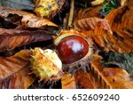 Horse Chestnut Conker With...
