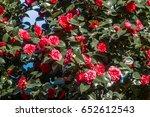 japanese camellia  camellia... | Shutterstock . vector #652612543