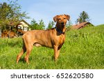 Small photo of A strong, young, purebred red German Pinscher dog standing proudly in the meadow in front of a farm in rural southern Germany.