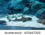Zebra Bullhead Shark ...