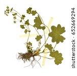 Small photo of Alchemilla vulgaris - Herbarium sheet