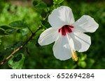 White Hibiscus Closeup