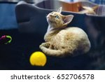 cat of breed german or prussian ... | Shutterstock . vector #652706578