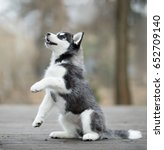 Cute Siberian Husky Puppy Give...