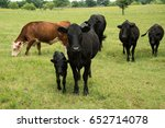black angus cows herd mother... | Shutterstock . vector #652714078