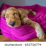 Stock photo our new addition to the family a sleeping newborn puppy on his new dog bed 652726774