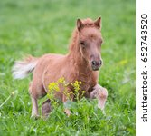 Small photo of Mini horse foal running in the field.