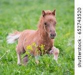 Mini Horse Foal Running In The...