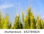 agriculture wheat plant | Shutterstock . vector #652784824