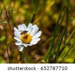 Fly On White Daisy