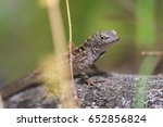 a brown anole in florida | Shutterstock . vector #652856824