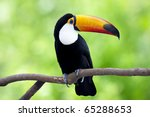 The  Toucan Resting By A Tree