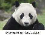 Portrait Of A Panda