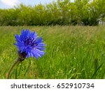 Cornflower  Centaurea Cyanus  ...