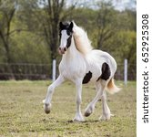 Small photo of Irish cob.