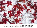 red maple branch. autumn maple... | Shutterstock . vector #652959730
