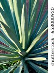Small photo of Agave succulent plant.Agave tequilana plant to distill mexican tequila liquor.Floral background.