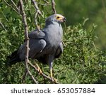 Small photo of African Harrier-hawk