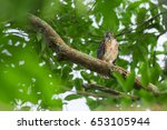 Small photo of Shikra nesting and having a baby in nature (Accipiter badius)