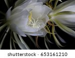 the white cactus flower is... | Shutterstock . vector #653161210