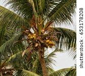 bunch of yellow coconuts grow...   Shutterstock . vector #653178208