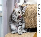 Stock photo american shorthair cat cleansing its body 653185624