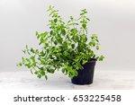 Oregano  Potted Plant Against ...