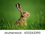 Stock photo lepus wild european hare lepus europaeus close up on green background wild brown hare with 653263390
