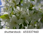blooming tree of a wild apple... | Shutterstock . vector #653337460