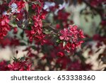chinese flowering crab apple... | Shutterstock . vector #653338360