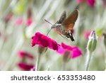 Sfinge Colibri   Macroglossum...