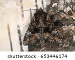 Small photo of Apamea illyria resting on birch bark
